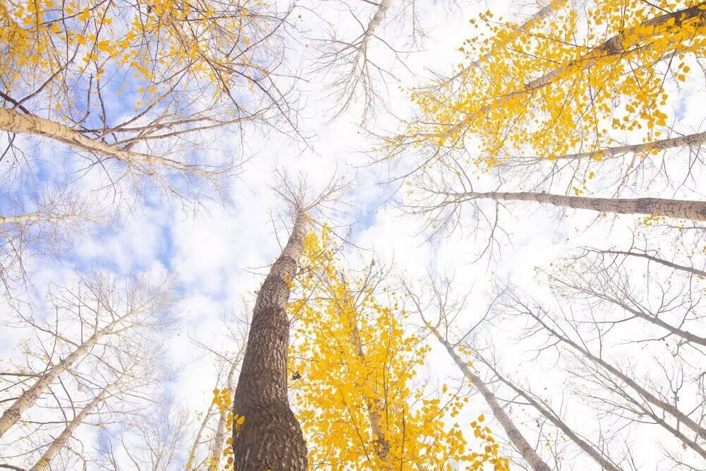 Blick nach oben in den blauen Himmel durch Bäumen mit gelben Blättern